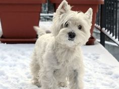 Interested in getting a West Highland White Terrier? See pictures and learn about its size, personality, health, costs of ownership, and more.
