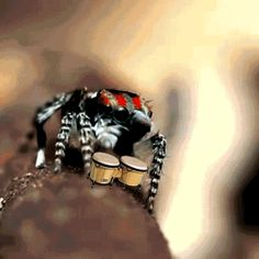 Peacock spider playing the bongo - SO CUTE