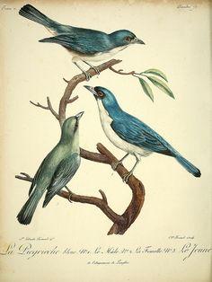 Histoire naturelle des oiseaux d'Afrique /. A Paris :Chez J.J. Fuchs, libraire ...