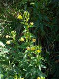 Oenothera biennis (Common evening-primrose) | NPIN
