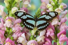 Philaethria Dido tropical Butterfly photographed by: Darrell Gulin Madame Butterfly, Butterfly Kisses, Butterfly Wings, Butterfly Painting, Butterfly Wallpaper, Most Beautiful Butterfly, Moth Wings, Flying Flowers, Moth Caterpillar