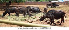 African Brown Buffalo