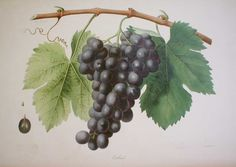 Oulliade from 'Ampélographie française', by Victor Rendu. Paris, 1857. Ampelographies describe and often illustrate grape varieties. The hand-coloured lithographs of Eugene Grobon make this book possibly the most prized of the great ampelographies of the nineteenth and early twentieth centuries.