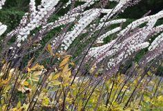 Bladen kan vara både gröna och rödbruna hos silveraxet.