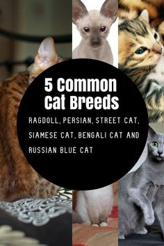 The Most Common Cat Breeds | Cat Breeds | Common cat breeds, Cats