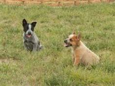 Blue and Red Female Cattle Pups. Blue & Red Heeler puppies at www.pups4sale.com.au