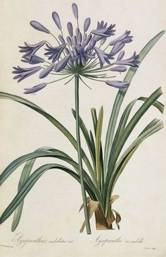 Some species of Agapanthus are commonly known as lily of the Nile or African lily .The genus Agapanthus was established by L'Heritier in Vintage Botanical Prints, Botanical Drawings, Botanical Illustration, Vintage Prints, Botanical Flowers, Botanical Art, Lilies Flowers, Art Floral, Flower Prints