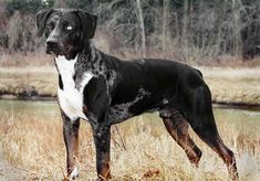 Louisiana Catahoula Leopard Dog Info, Temperament, Puppies, Pictures