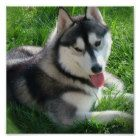 """See our site for additional information on """"siberian husky"""". It is an excellent place to get more information. See our site for additional information on """"siberian husky"""". It is an excellent place to get more information. Life with a Siberian husky Siberian Husky Facts, Siberian Husky Puppies, Husky Mix, Siberian Huskies, Husky Puppy, Huskies Puppies, Schnauzer Puppies, Corgi Puppies, Alaskan Husky"""