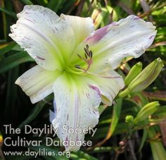 Daylily Doctor Strangelove (Cochenour 2007) scape 27, bloom 6, midseason, diploid, dormant, diurnal, bud 11, branches 2- Striped Petals