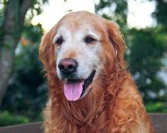 golden retriever  (Lady)  (wouldn't leave owner's side, after death, in field, until help came)