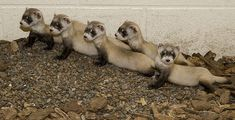 Litter of Black-footed Ferrets born at the Smithsonian's National Zoo's conservation facility in Front Royal, VA, part of a program to save this endangered species and reintroduce them to the wild.