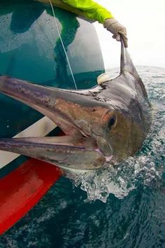 Blue Marlin Catch and Release