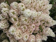 Proven Winners - Bobo® - Panicle Hydrangea - Hydrangea paniculata pink white white summer flowers turn pink in autumn plant details, information and resources. Hydrangea Paniculata, Hortensia Hydrangea, Hydrangeas, Bobo Hydrangea, Dwarf Hydrangea, Hydrangea Flower, Hydrangea Care, Flowering Shrubs, Trees And Shrubs