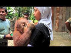 Tripa Orangutan Confiscation 20th April 2012.m4v