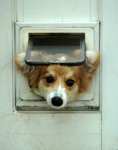 10 Horrifying Things You Didnt Want to Know About Corgis