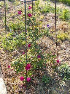 Újdonság: Rózsák a kertemből 5. - Rugosa hibridek és mohák, http://kertinfo.hu/rozsak-a-kertembol-5-rugosa-hibridek-es-mohak/, ezekben a témakörökben:  #Ajándék #Alma #Díszkert #Díszkertinövény #Gyümölcs #Képek #Kert #Kertészkedés #Konyhakert #Mag #Metszés #Növény #Rózsa #Tanácsésötlet #Tavaszi #Téli #Vetőmag, írta: Blog Nellikert