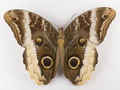 Caligo sp., owl butterfly, dried specimen, Peru