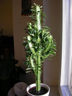 Wolfsmilch zimmerpflanze dreikantige wolfsmilch euphorbia - Wolfsmilch zimmerpflanze ...