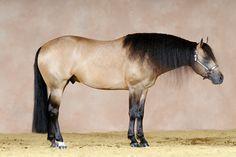 2005 Buckskin Quarter Horse Stallion   (Tinsel Nic x Setting Off Sparks)