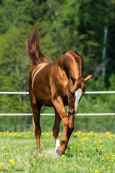 Aussiegirl Beautiful Copper Color von R & M - Horses - Pferde Most Beautiful Horses, All The Pretty Horses, Majestic Horse, Majestic Animals, Horse Photos, Horse Pictures, Zebras, Beautiful Creatures, Animals Beautiful