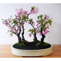 ~ Beautiful blooming bonsai ~