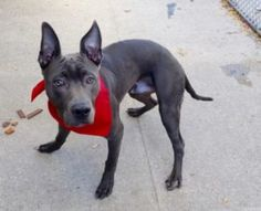 """""""BLAZE""""- TO BE DESTROYED TODAY - MON.- 11/14/16- volunteer writes: I do not know Blaze's story except that he was surrendered to us by his former owners for being ill. Blaze, a young pup, only six months of age, is indeed ataxic. He can walk awkwardly very short distances on the leash, then stumbles, falls, tries to get up... and falls again ...He does hear with his beautiful rabbit ears and sees with his gorgeous and sweet grey eyes. He has been well cared for, is well groomed..."""