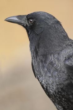 I love what the Previous Pinner Wrote, Here it is: Crows are extremely beautiful, intelligent, and curious. There is no reason to consider these lovely creatures as bad luck. Black Feathers, Bird Feathers, American Crow, Quoth The Raven, Crow Art, Animal Symbolism, Jackdaw, Crows Ravens, Lovely Creatures