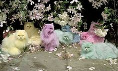 cotton candy cats