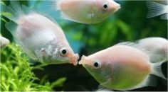 Kissing Gourami - Helostoma Temminckii
