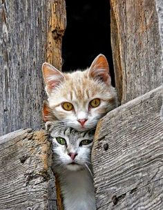 #Cats, kitty, kittens, stribed, squeezed, haha, expression, funny, old wooden boards, weathered, cute, nuttet, adorable, sweet, furry, friends, love, precious, photo