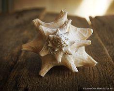 Sea Shell Photography Art Print Beach by LocustGrovePhotos on Etsy