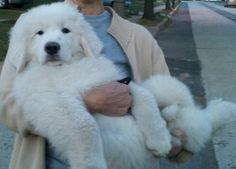Great Pyrenees puppy- I has a great pyr! So cute. Hair ball hell though..