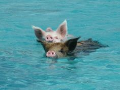 4-swimming-pigs.jpg (2816×2112)