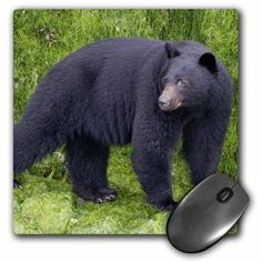 3dRose Black Bear cub on beach at low tide tries to catch crabs to eat.Vancouver Island,British Columbia,CA, Mouse Pad, 8 by 8 inches