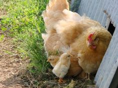 buff orpington chicken and baby chickens
