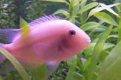 pink convict cichlids