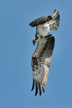 Osprey in flight spots a fish, lowers its wing, and begins to dive