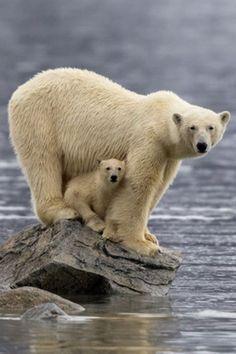 Polar bear cub and her momma