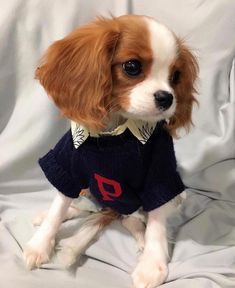 If you've had a ruff time shivering through the cold this week, we hope you have some cozy Penn sweaters to keep you warm — like this pup… Baby Animals Super Cute, Cute Little Animals, Cute Funny Animals, Baby Animals Pictures, Cute Animal Pictures, Gif Pictures, Perro Cocker Spaniel, Cavalier King Charles Dog, Charles Spaniel