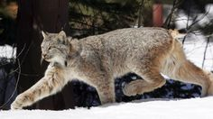 Lynx Protections Expanded, but New Habitat Denied