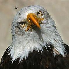 Eagle - Pixdaus