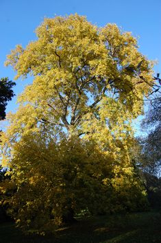 Ulmus laevis Pall., called the European White Elm, Fluttering Elm, Spreading Elm, Stately Elm and Russian Elm It symbolises dignity in the Victorian language of Flowers.