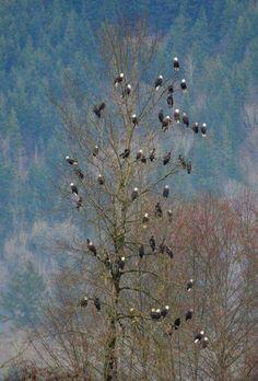 55 bald eagles in a single tree
