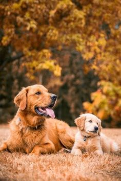 Golden Retriever And Pup..
