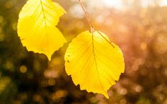 Download wallpaper leaves, yellow, autumn, nature, tree, branch, macro, bokeh, light, macro resolution 1280x800