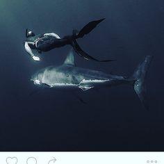 O tubarão-branco vive sobre as zonas de plataforma continental perto das costas onde a água é menos profunda. O tubarão-branco vive sobre as zonas de plataforma continental perto das costas onde a água é menos profunda. É nestas zonas onde a abundância de luz e correntes marinhas provocam uma maior concentração de vida animal o que para esta espécie equivale a uma maior quantidade de alimento. Ainda assim estão ausentes dos frios oceanos ártico e antártico apesar de sua grande abundância em…