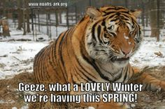 Geeze! What a lovely winter we're having this spring!  We love Doc's funny faces! He's so silly!  www.noahs-ark.org #tiger #Spring #Winter #LOL #Meme #Animal #Funny #humor