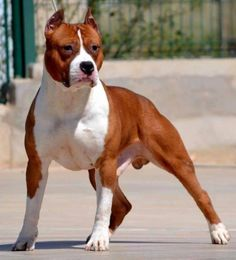 American Staffordshire Terrier // Ibero River | pedigreedatabase.com