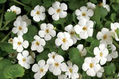Bacopa benefits: Bacopa monnieri tea (Brahmi, Waterhyssop) offers exceptional health benefits as a memory enhancer. It makes a wonderful Ayurvedic tea. Ayurvedic Tea, Ayurvedic Remedies, Female Infertility, Herbs For Health, Balcony Plants, Hanging Baskets, Flower Making, Planting Flowers, Herbalism